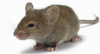 الفأر الناقل