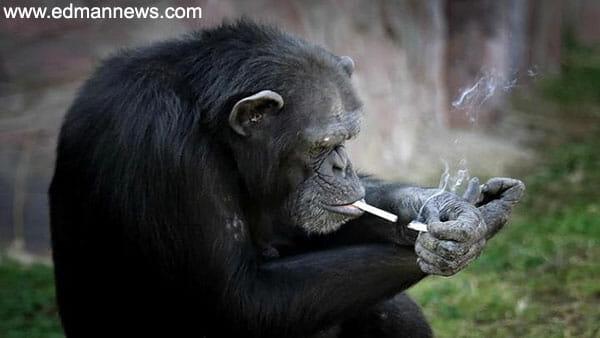 الادمان على التدخين يصل للقرود