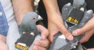 تهريب المخدرات عن طريق الطيور